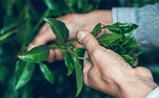 八女茶が出来るまで-八女茶-製造-茶摘み-蒸す-冷却-揉む-乾かす-仕上げ-火入れ-合組-袋詰め (9)