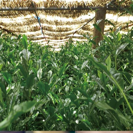 八女伝統本玉露 出来る まで 栽培 日本一 高級茶 玉露